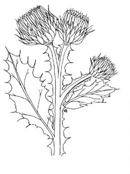 Thistle-flower-coloring-pages-3