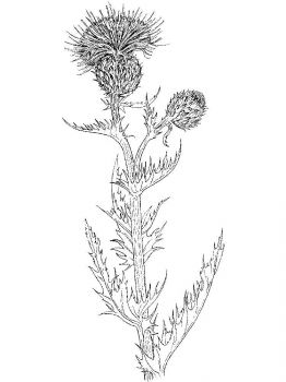 Thistle-flower-coloring-pages-6