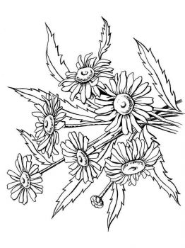chamomile-flower-coloring-pages-18