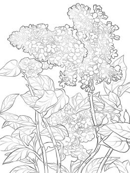 lilac-flower-coloring-pages-7