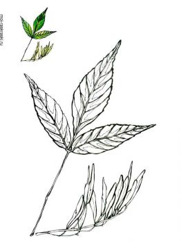 ash-tree-coloring-pages-1