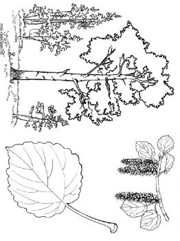 aspen-tree-coloring-pages-2