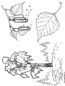 birch-tree-coloring-pages-1