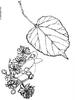 linden-tree-coloring-pages-1
