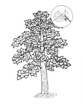linden-tree-coloring-pages-12