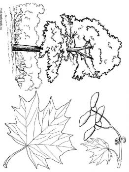 maple-tree-coloring-pages-1