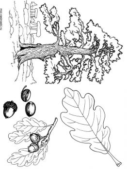 oak-tree-coloring-pages-2