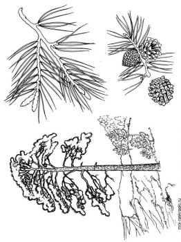 pine-tree-coloring-pages-1
