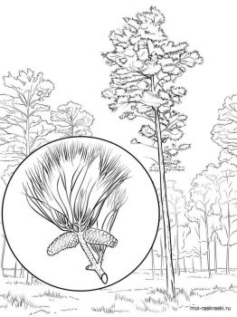 pine-tree-coloring-pages-3