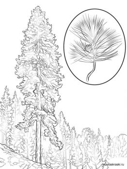 pine-tree-coloring-pages-4