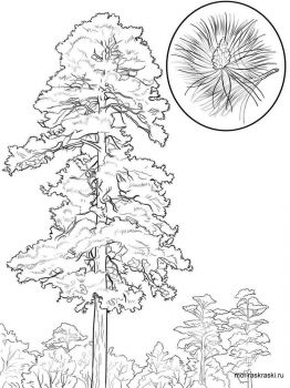 pine-tree-coloring-pages-5