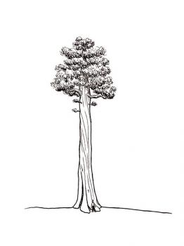 sequoia-tree-coloring-pages-6